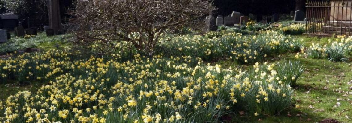 St-Michaels-daffodils